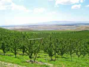 Modern apple orchard near the Columbia River