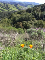 Poppies and Lupine were blooming